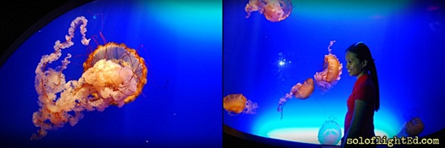 jelly fish ocean park