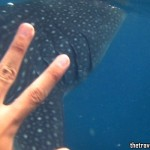 Cebu Trip: Whale Shark 'Butanding' Encounter in Oslob